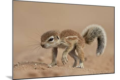 Baby Cape Ground Squirrel (Xerus Inauris)-James Hager-Mounted Photographic Print