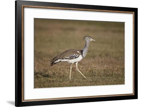 Kori Bustard (Ardeotis Kori), Ngorongoro Crater, Tanzania, East Africa, Africa-James Hager-Framed Art Print