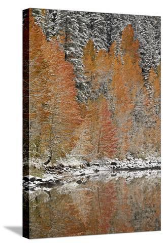 Orange Aspens in the Fall Among Evergreens Covered with Snow at a Lake-James Hager-Stretched Canvas Print
