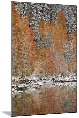 Orange Aspens in the Fall Among Evergreens Covered with Snow at a Lake-James Hager-Mounted Photographic Print