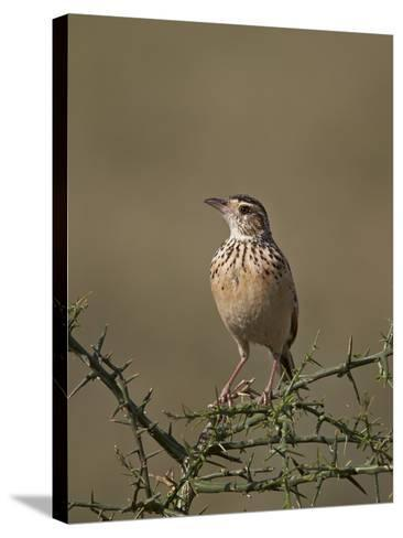 African Pipit (Grassland Pipit) (Grassveld Pipit) (Anthus Cinnamomeus)-James Hager-Stretched Canvas Print
