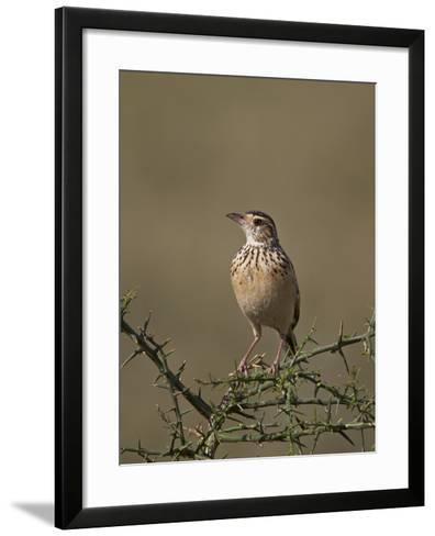 African Pipit (Grassland Pipit) (Grassveld Pipit) (Anthus Cinnamomeus)-James Hager-Framed Art Print