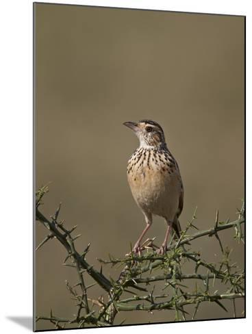 African Pipit (Grassland Pipit) (Grassveld Pipit) (Anthus Cinnamomeus)-James Hager-Mounted Photographic Print