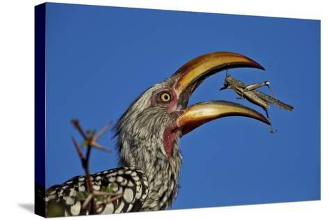 Southern Yellow-Billed Hornbill (Tockus Leucomelas) Flipping a Grasshopper-James Hager-Stretched Canvas Print