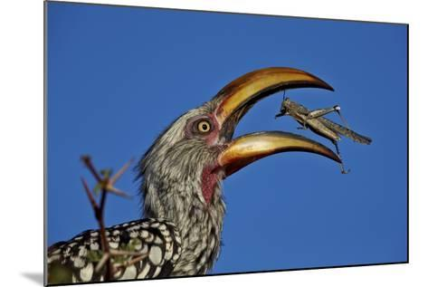 Southern Yellow-Billed Hornbill (Tockus Leucomelas) Flipping a Grasshopper-James Hager-Mounted Photographic Print