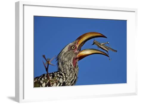 Southern Yellow-Billed Hornbill (Tockus Leucomelas) Flipping a Grasshopper-James Hager-Framed Art Print
