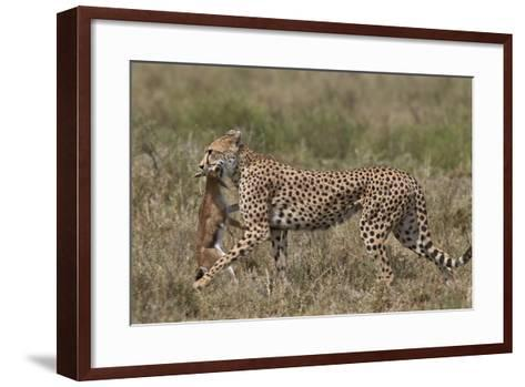 Cheetah (Acinonyx Jubatus) Carrying a Thomson's Gazelle (Gazella Thomsonii) Calf-James Hager-Framed Art Print
