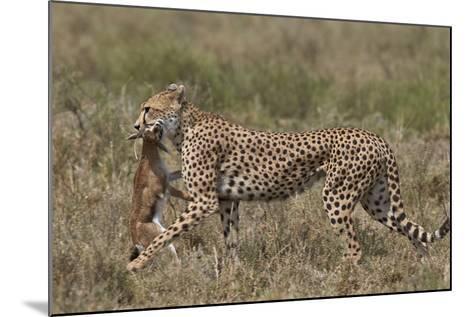 Cheetah (Acinonyx Jubatus) Carrying a Thomson's Gazelle (Gazella Thomsonii) Calf-James Hager-Mounted Photographic Print
