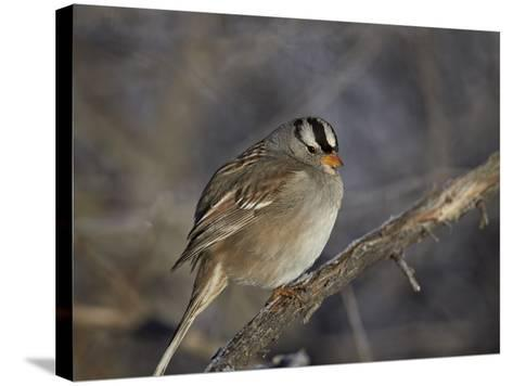 White-Crowned Sparrow (Zonotrichia Leucophrys)-James Hager-Stretched Canvas Print