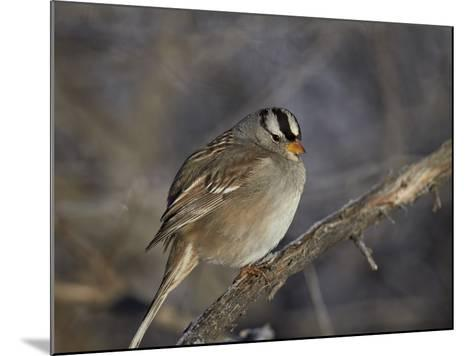 White-Crowned Sparrow (Zonotrichia Leucophrys)-James Hager-Mounted Photographic Print
