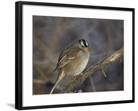 White-Crowned Sparrow (Zonotrichia Leucophrys)-James Hager-Framed Art Print