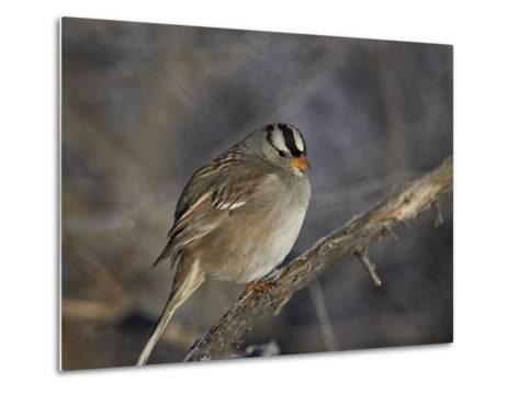 White-Crowned Sparrow (Zonotrichia Leucophrys)-James Hager-Metal Print