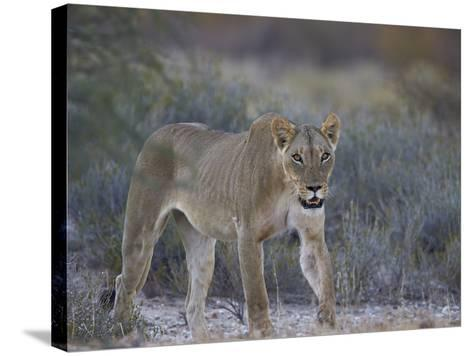 Lioness (Panthera Leo), Kgalagadi Transfrontier Park-James Hager-Stretched Canvas Print