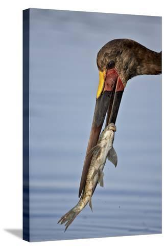 Saddle-Billed Stork (Ephippiorhynchus Senegalensis) with a Fish-James Hager-Stretched Canvas Print