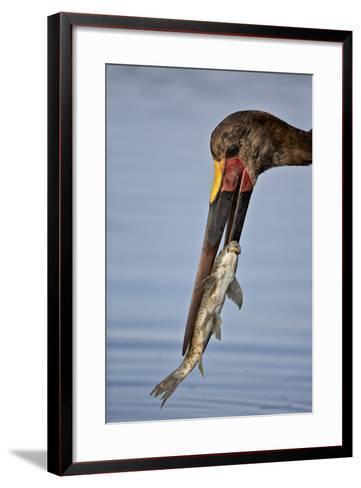 Saddle-Billed Stork (Ephippiorhynchus Senegalensis) with a Fish-James Hager-Framed Art Print