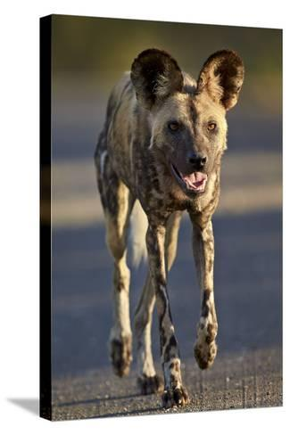 African Wild Dog (African Hunting Dog) (Cape Hunting Dog) (Lycaon Pictus) Running-James Hager-Stretched Canvas Print
