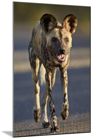 African Wild Dog (African Hunting Dog) (Cape Hunting Dog) (Lycaon Pictus) Running-James Hager-Mounted Photographic Print
