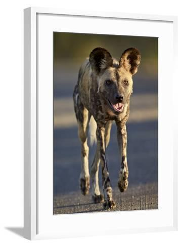 African Wild Dog (African Hunting Dog) (Cape Hunting Dog) (Lycaon Pictus) Running-James Hager-Framed Art Print