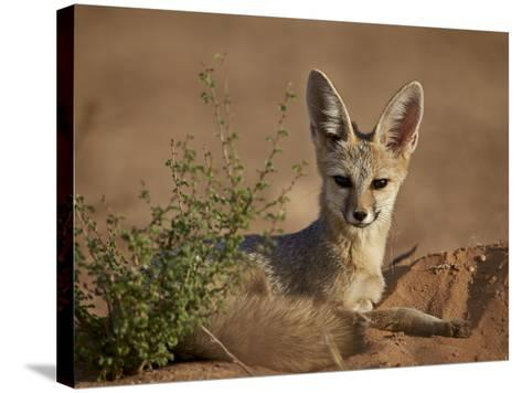 Cape Fox (Cama Fox) (Silver-Backed Fox) (Vulpes Chama)-James Hager-Stretched Canvas Print