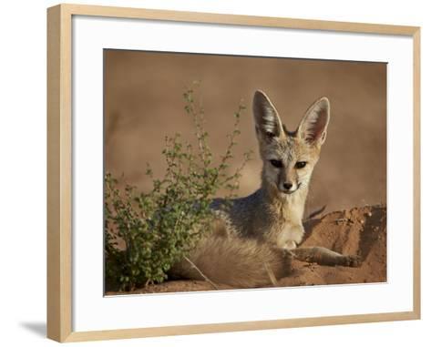 Cape Fox (Cama Fox) (Silver-Backed Fox) (Vulpes Chama)-James Hager-Framed Art Print