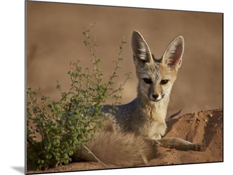 Cape Fox (Cama Fox) (Silver-Backed Fox) (Vulpes Chama)-James Hager-Mounted Photographic Print