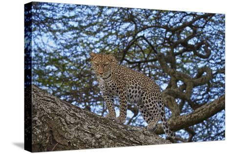 Leopard (Panthera Pardus) in a Tree-James Hager-Stretched Canvas Print