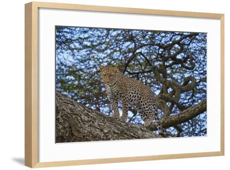 Leopard (Panthera Pardus) in a Tree-James Hager-Framed Art Print