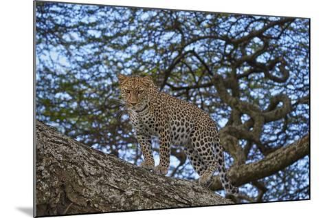 Leopard (Panthera Pardus) in a Tree-James Hager-Mounted Photographic Print