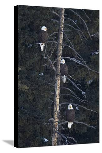 Three Bald Eagle (Haliaeetus Leucocephalus) in an Evergreen Tree-James Hager-Stretched Canvas Print