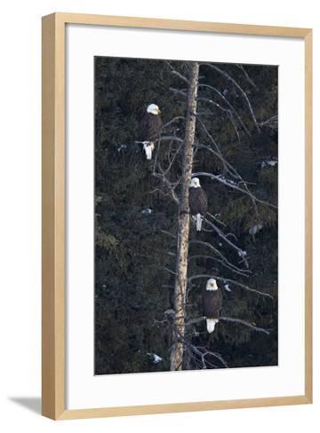 Three Bald Eagle (Haliaeetus Leucocephalus) in an Evergreen Tree-James Hager-Framed Art Print