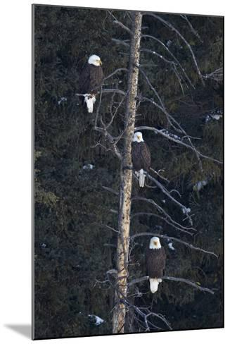 Three Bald Eagle (Haliaeetus Leucocephalus) in an Evergreen Tree-James Hager-Mounted Photographic Print