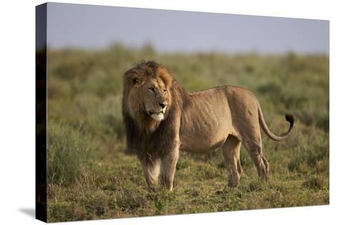 Lion (Panthera Leo), Serengeti National Park, Tanzania, East Africa, Africa-James Hager-Stretched Canvas Print