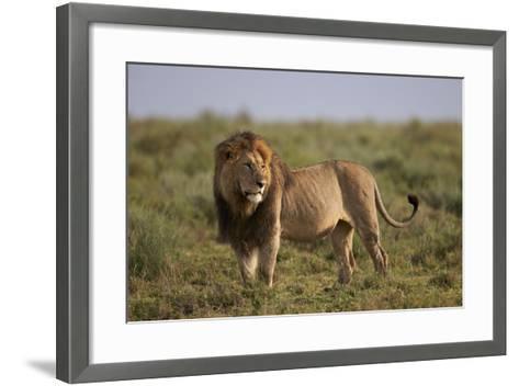 Lion (Panthera Leo), Serengeti National Park, Tanzania, East Africa, Africa-James Hager-Framed Art Print