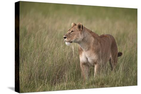 Lion (Panthera Leo) Female (Lioness) in Tall Grass-James Hager-Stretched Canvas Print