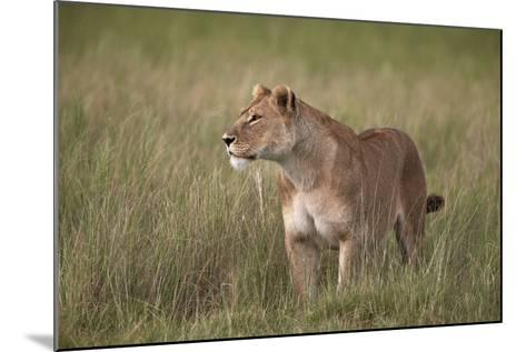 Lion (Panthera Leo) Female (Lioness) in Tall Grass-James Hager-Mounted Photographic Print