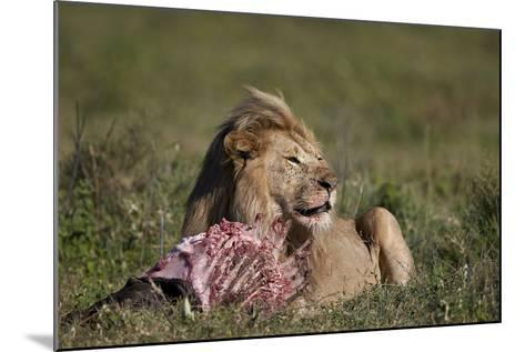 Lion (Panthera Leo) at a Wildebeest Carcass-James Hager-Mounted Photographic Print