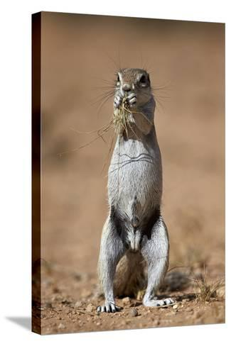 Cape Ground Squirrel (Xerus Inauris) Eating-James Hager-Stretched Canvas Print