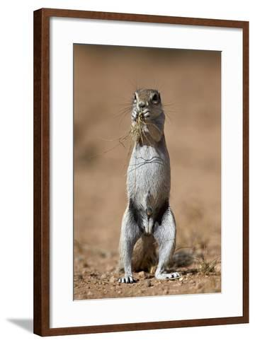 Cape Ground Squirrel (Xerus Inauris) Eating-James Hager-Framed Art Print
