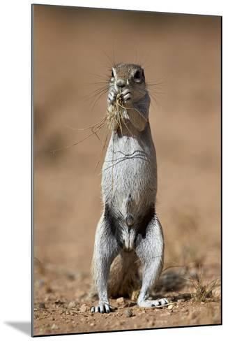 Cape Ground Squirrel (Xerus Inauris) Eating-James Hager-Mounted Photographic Print