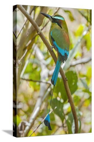 Guardabarranco (Turquoise-Browed Motmot)-Rob Francis-Stretched Canvas Print