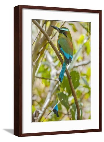 Guardabarranco (Turquoise-Browed Motmot)-Rob Francis-Framed Art Print