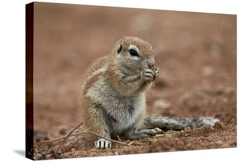 Young Cape Ground Squirrel (Xerus Inauris) Eating-James Hager-Stretched Canvas Print