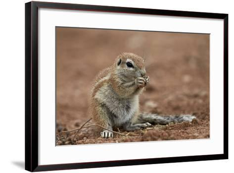 Young Cape Ground Squirrel (Xerus Inauris) Eating-James Hager-Framed Art Print