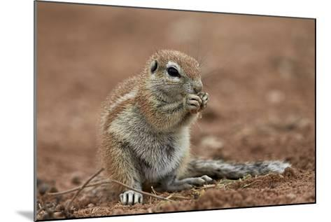 Young Cape Ground Squirrel (Xerus Inauris) Eating-James Hager-Mounted Photographic Print