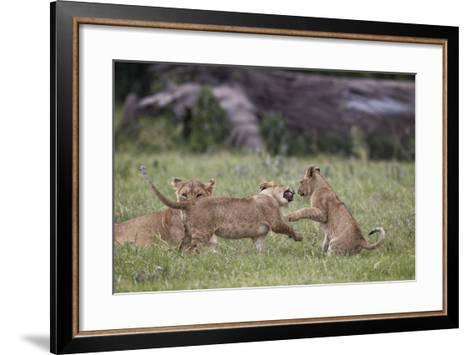 Lion (Panthera Leo) Cubs Playing, Ngorongoro Crater, Tanzania, East Africa, Africa-James Hager-Framed Art Print