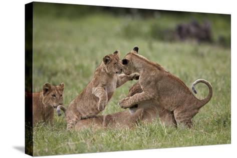 Lion (Panthera Leo) Cubs Playing, Ngorongoro Crater, Tanzania, East Africa, Africa-James Hager-Stretched Canvas Print