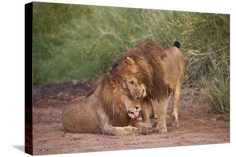 Two Lions (Panthera Leo), Serengeti National Park, Tanzania, East Africa, Africa-James Hager-Stretched Canvas Print