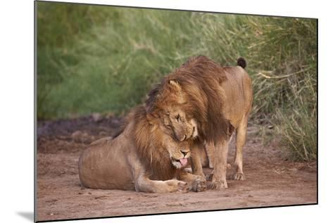 Two Lions (Panthera Leo), Serengeti National Park, Tanzania, East Africa, Africa-James Hager-Mounted Photographic Print