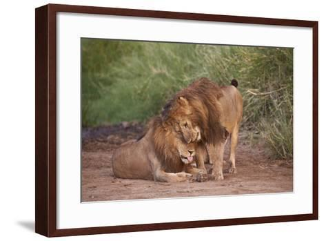 Two Lions (Panthera Leo), Serengeti National Park, Tanzania, East Africa, Africa-James Hager-Framed Art Print