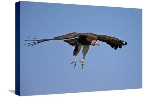 Hooded Vulture (Necrosyrtes Monachus) in Flight on Approach to Landing-James Hager-Stretched Canvas Print